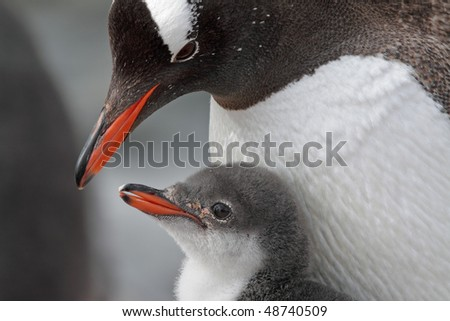 Gentoo penguin parent with chick, Antarctic Peninsula, Antarctica - stock photo
