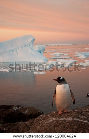 Gentoo penguin (Pygoscelis papua) at sunset on the background of the iceberg.