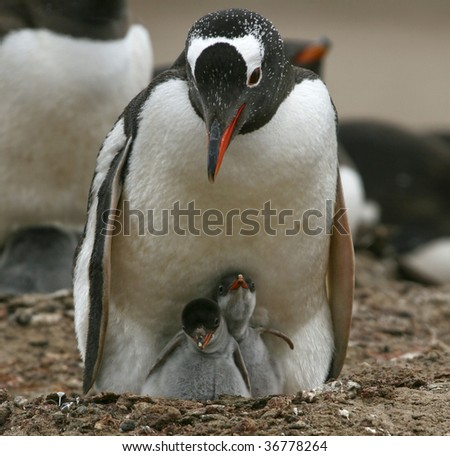 Gentoo penguin (Pygoscelis papua) caring for its chicks on the Falkland Islands
