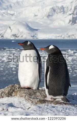 Gentoo penguin (Pygoscelis papua) couple on the background of the glaciers.