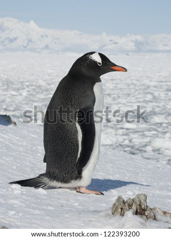 Gentoo penguin (Pygoscelis papua) on the background of the frozen ocean.