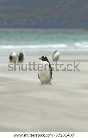 Gentoo penguin (Pygoscelis papua) sitting on the beach at Saunders Island, Falkland Islands