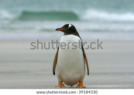 Gentoo penguin (Pygoscelis papua) sitting on the beach at Saunders Island, Falkland Islands - stock photo
