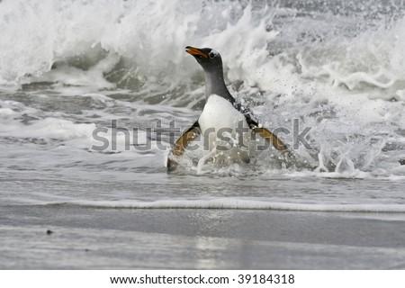 Gentoo penguin (Pygoscelis papua) walking onto the beach when returning from a feeding trip to Sea Lion Island, Falkland Islands