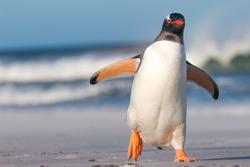 Gentoo Penguin walking on the Beach. Bertha's Beach. Falkland Islands.