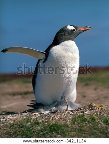 Gentoo penguin with chick on Falkland islands