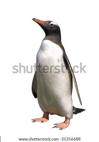 Gentoo penguin with clipping path isolated on white