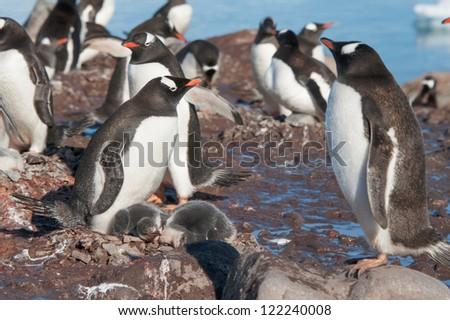 Gentoo penguins colony, Antarctica - stock photo