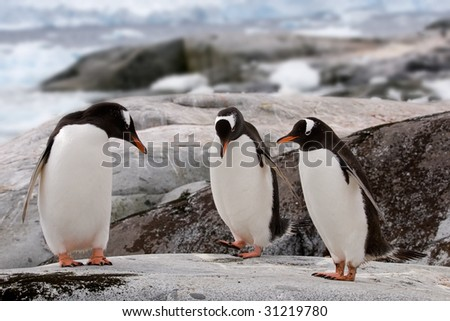 Gentoo penguins could be doing their dance or examining if it's pedicure time, but are actually just drying their feathers