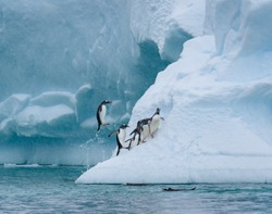 Gentoo penguins playing on a large snow covered iceberg, penguins jumping out of the water onto the iceberg, snowy day and blue ice, Paradise Bay, Antarctica