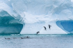 Gentoo penguins playing on a large snow covered iceberg, penguins jumping out of the water onto the iceberg, diving back into the water, and swimming, snowy day and blue ice, Paradise Bay, Antarctica