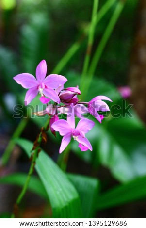 Geodorum The trunk has an oval head or oval-shaped oval shape. With clear articulate lines, flowering pink, blossoming, blooming, bouquet ,in THAILAND. #1395129686