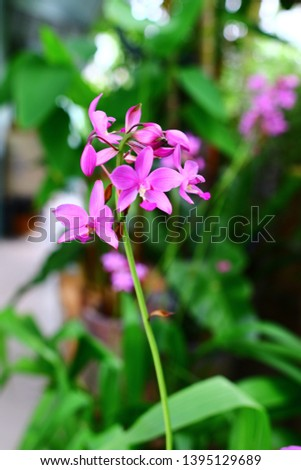 Geodorum The trunk has an oval head or oval-shaped oval shape. With clear articulate lines, flowering pink, blossoming, blooming, bouquet ,in THAILAND. #1395129689
