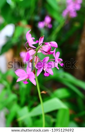 Geodorum The trunk has an oval head or oval-shaped oval shape. With clear articulate lines, flowering pink, blossoming, blooming, bouquet ,in THAILAND. #1395129692