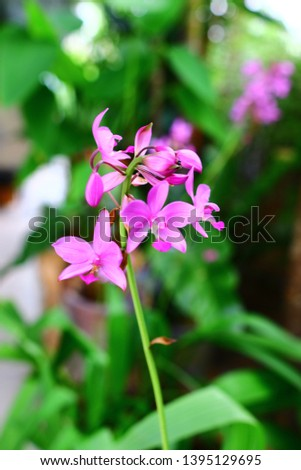 Geodorum The trunk has an oval head or oval-shaped oval shape. With clear articulate lines, flowering pink, blossoming, blooming, bouquet ,in THAILAND. #1395129695