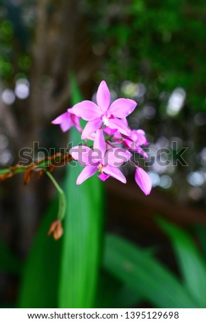 Geodorum The trunk has an oval head or oval-shaped oval shape. With clear articulate lines, flowering pink, blossoming, blooming, bouquet ,in THAILAND. #1395129698