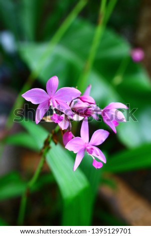 Geodorum The trunk has an oval head or oval-shaped oval shape. With clear articulate lines, flowering pink, blossoming, blooming, bouquet ,in THAILAND. #1395129701