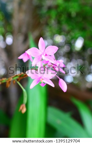 Geodorum The trunk has an oval head or oval-shaped oval shape. With clear articulate lines, flowering pink, blossoming, blooming, bouquet ,in THAILAND. #1395129704
