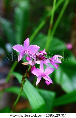 Geodorum The trunk has an oval head or oval-shaped oval shape. With clear articulate lines, flowering pink, blossoming, blooming, bouquet ,in THAILAND. #1395129707