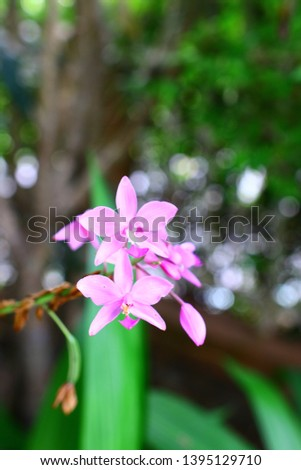 Geodorum The trunk has an oval head or oval-shaped oval shape. With clear articulate lines, flowering pink, blossoming, blooming, bouquet ,in THAILAND. #1395129710