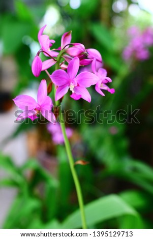 Geodorum The trunk has an oval head or oval-shaped oval shape. With clear articulate lines, flowering pink, blossoming, blooming, bouquet ,in THAILAND. #1395129713