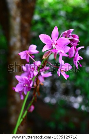 Geodorum The trunk has an oval head or oval-shaped oval shape. With clear articulate lines, flowering pink, blossoming, blooming, bouquet ,in THAILAND. #1395129716