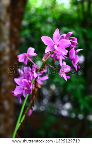 Geodorum The trunk has an oval head or oval-shaped oval shape. With clear articulate lines, flowering pink, blossoming, blooming, bouquet ,in THAILAND. #1395129719