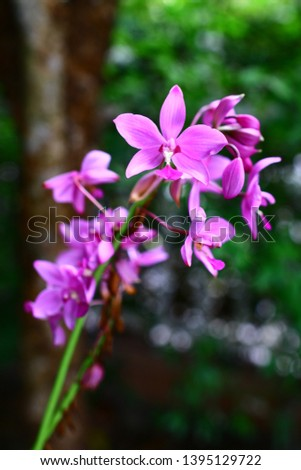 Geodorum The trunk has an oval head or oval-shaped oval shape. With clear articulate lines, flowering pink, blossoming, blooming, bouquet ,in THAILAND. #1395129722