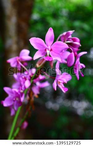 Geodorum The trunk has an oval head or oval-shaped oval shape. With clear articulate lines, flowering pink, blossoming, blooming, bouquet ,in THAILAND. #1395129725