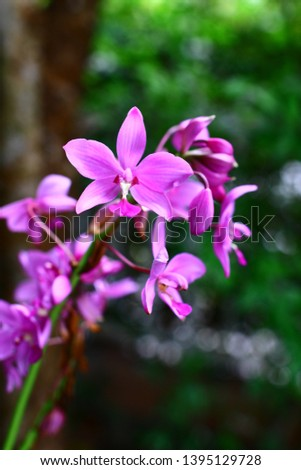 Geodorum The trunk has an oval head or oval-shaped oval shape. With clear articulate lines, flowering pink, blossoming, blooming, bouquet ,in THAILAND. #1395129728