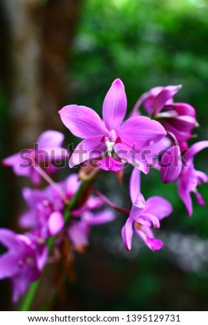 Geodorum The trunk has an oval head or oval-shaped oval shape. With clear articulate lines, flowering pink, blossoming, blooming, bouquet ,in THAILAND. #1395129731