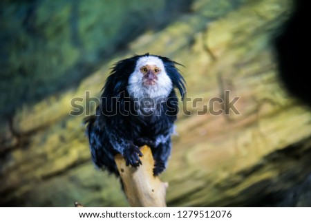 Geoffroy marmoset monkey
