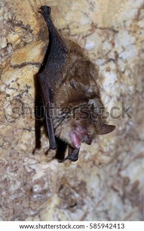 Geoffroy's bat Myotis emarginatus,  species of vesper bat. Imagine de stoc ©