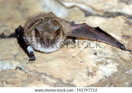 Geoffroy's bat Myotis emarginatus,  species of vesper bat.Ringed Imagine de stoc ©