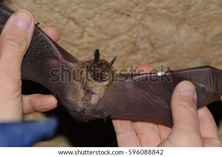 Geoffroy's bat Myotis emarginatus,  species of vesper bat ringing Imagine de stoc ©