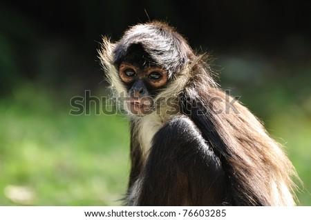 Geoffroy's Spider Monkey (Ateles geoffroyi), also known as Black-handed Spider Monkey
