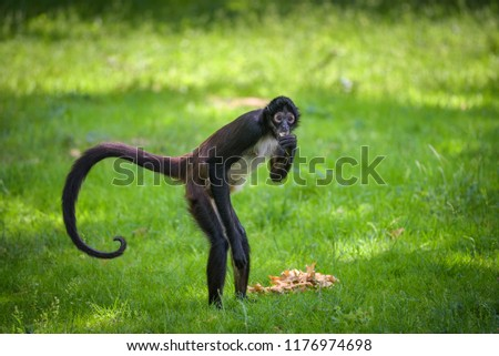 Geoffroy's Spider Monkey eating. This primate is also referred to as black-handed spider monkey or Ateles geoffroyi. #1176974698