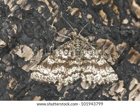 Geometer moth sitting on burned pine tree, macro photo, focus on eyes