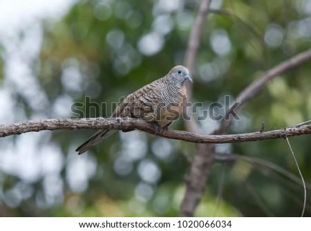 Geopelia striata bird