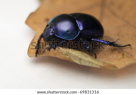 Geotrupes stercorarius beetle manure lout