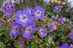 Geranium Azure Rush garden plant