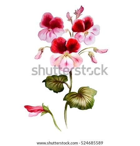 Geranium in watercolor. Beautiful flower painting. Hand drawn botanical illustration.