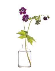 Geranium phaeum (mourning widow or black widow) in a glass vessel with water