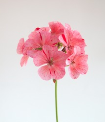 Geranium plant  with spotty pink flowers, Geranium Zonal, Pelargonium hortorum