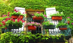 Geranium planters on balcony and ivy (France, 2016)