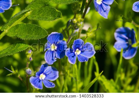 Geranium pratense, the meadow crane's-bill or meadow geranium, is a species of flowering plant in the family Geraniaceae, native to Europe and Asia. saucer-shaped blooms of pale violet. #1403528333
