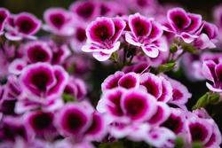Geranium purple flowers close up. Purple geraniums. Purple geranium flowers. Geraniums Purple flowers