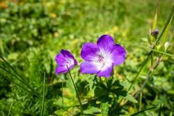 Geranium sylvaticum wild flowers close up view in Vanoise national Park, France