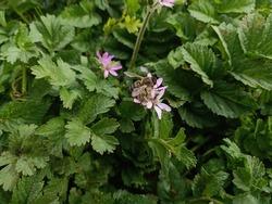 Geranium Wild. Flower Daughters Geranium. Bee above Flower Geranium