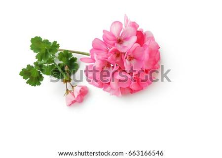 Geraniums - Shutterstock ID 663166546